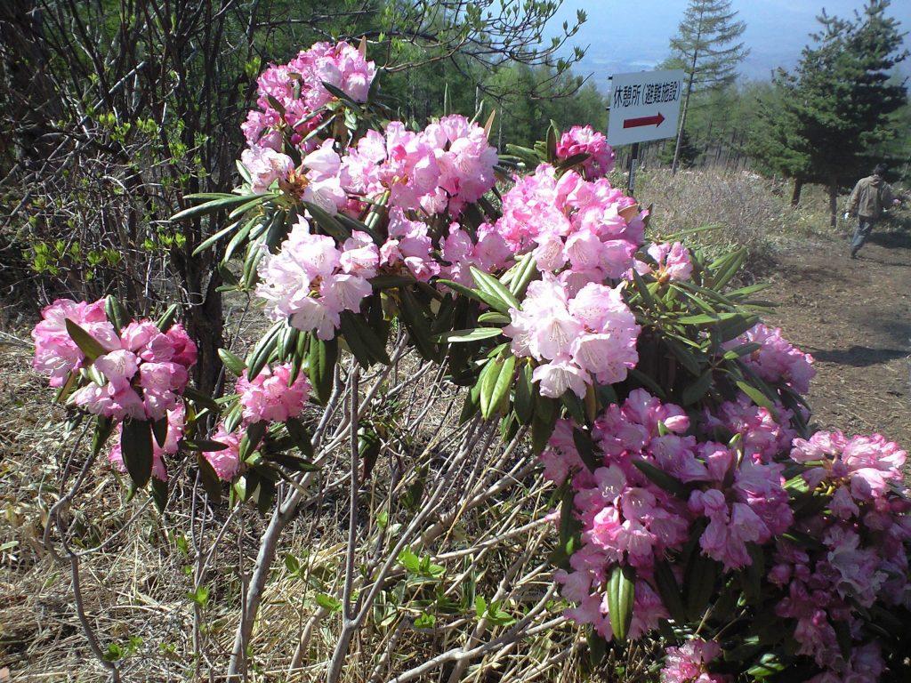 嬬恋村・浅間高原シャクナゲ園の石楠花