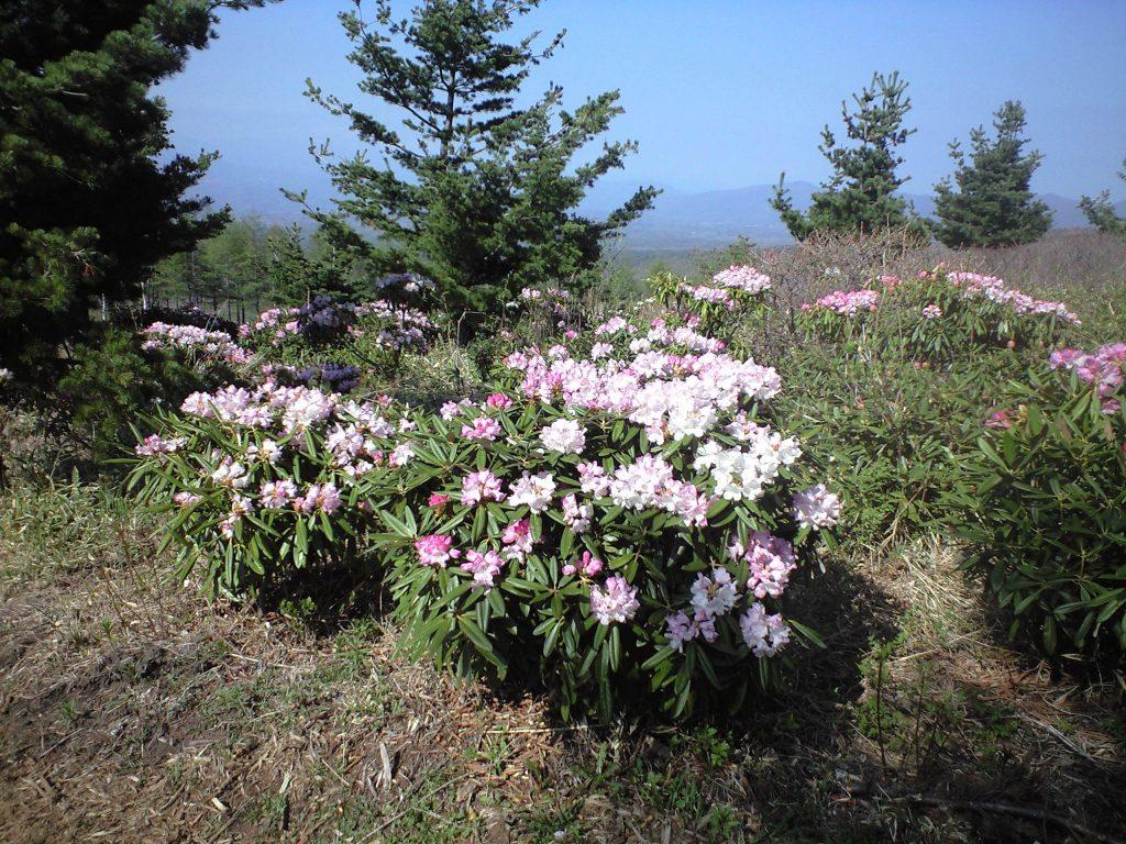 浅間高原のシャクナゲ園の石楠花