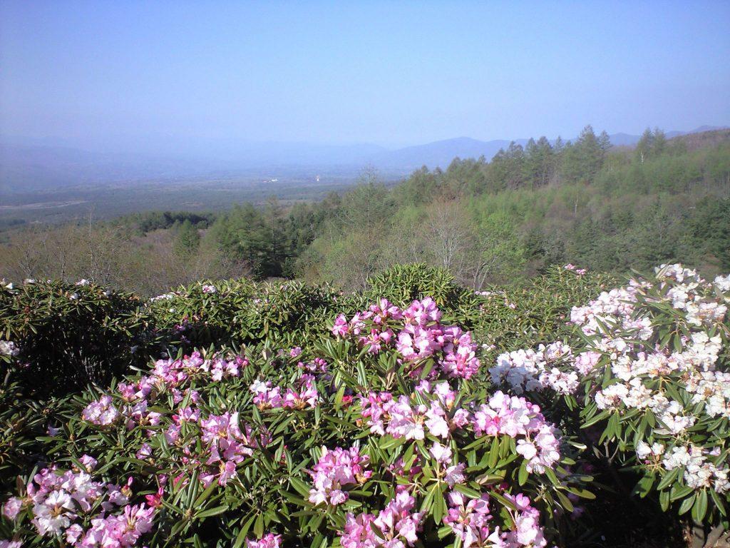 浅間高原のシャクナゲ園