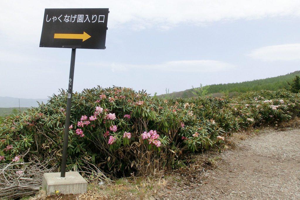 嬬恋・浅間高原シャクナゲ園