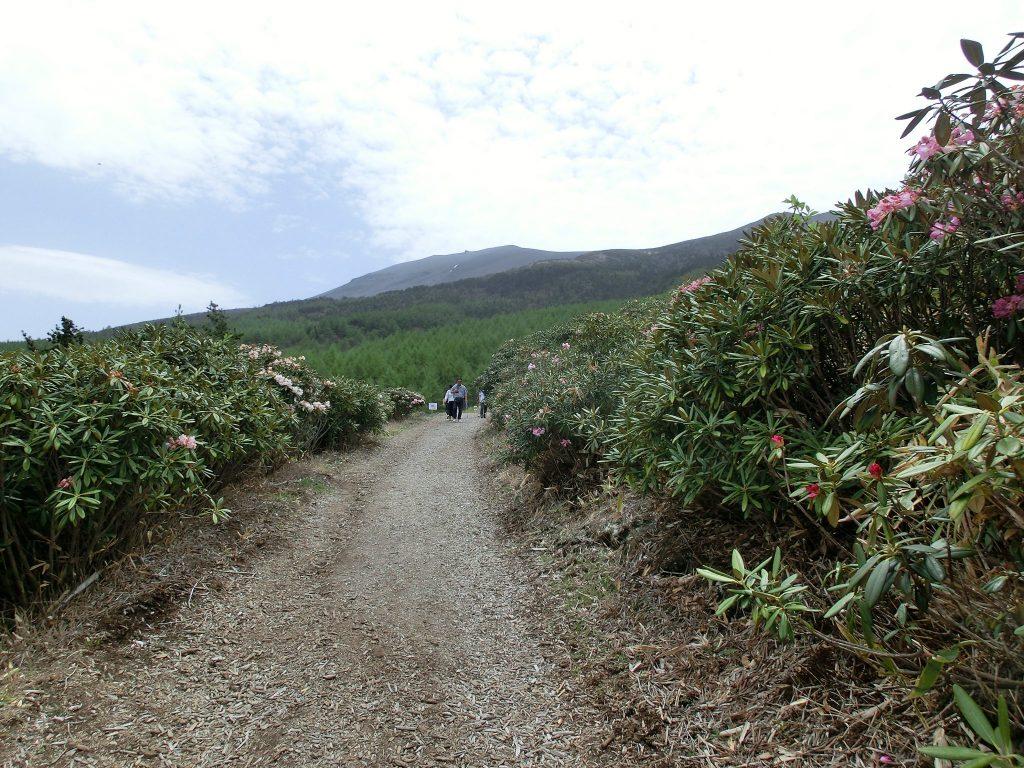 嬬恋村浅間高原のシャクナゲ園の舗道
