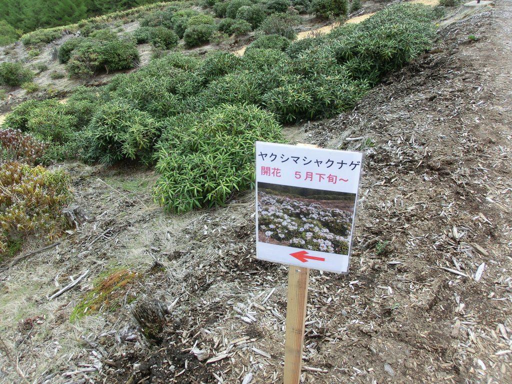 嬬恋・浅間高原シャクナゲ園の屋久島石楠花