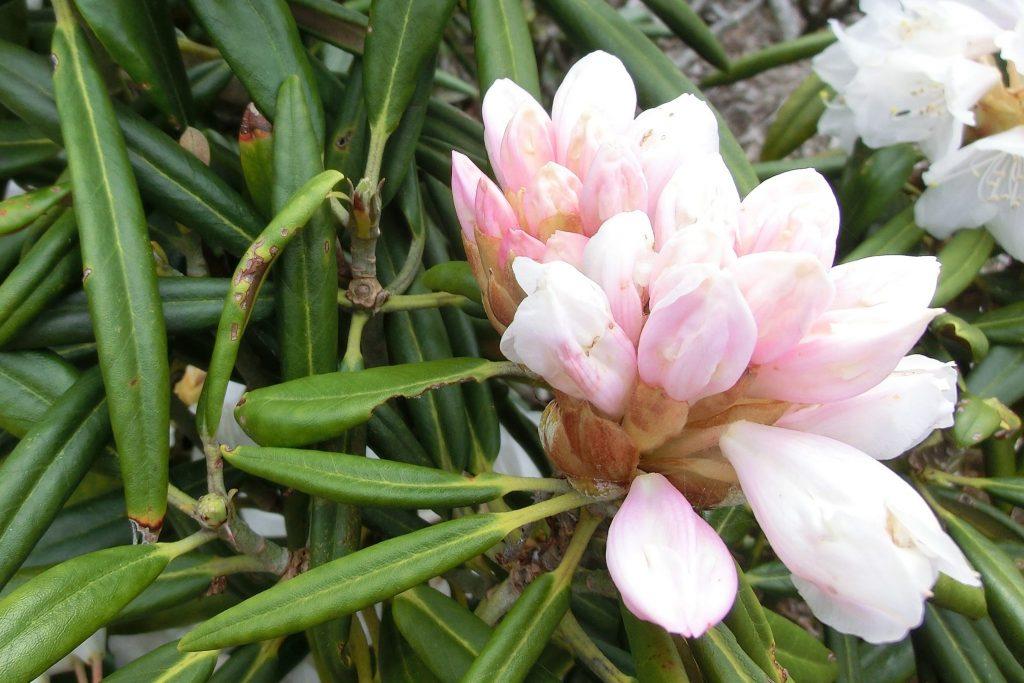 嬬恋・浅間高原シャクナゲ園の石楠花