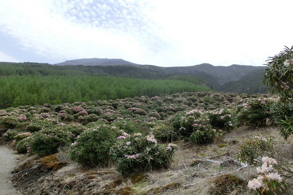 浅間山にそびえるシャクナゲ園