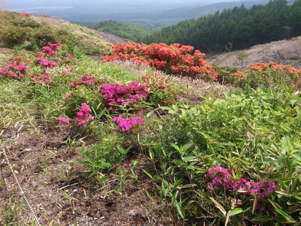 浅間高原のシャクナゲ園では5月にレンゲツツジが咲くのは珍しい
