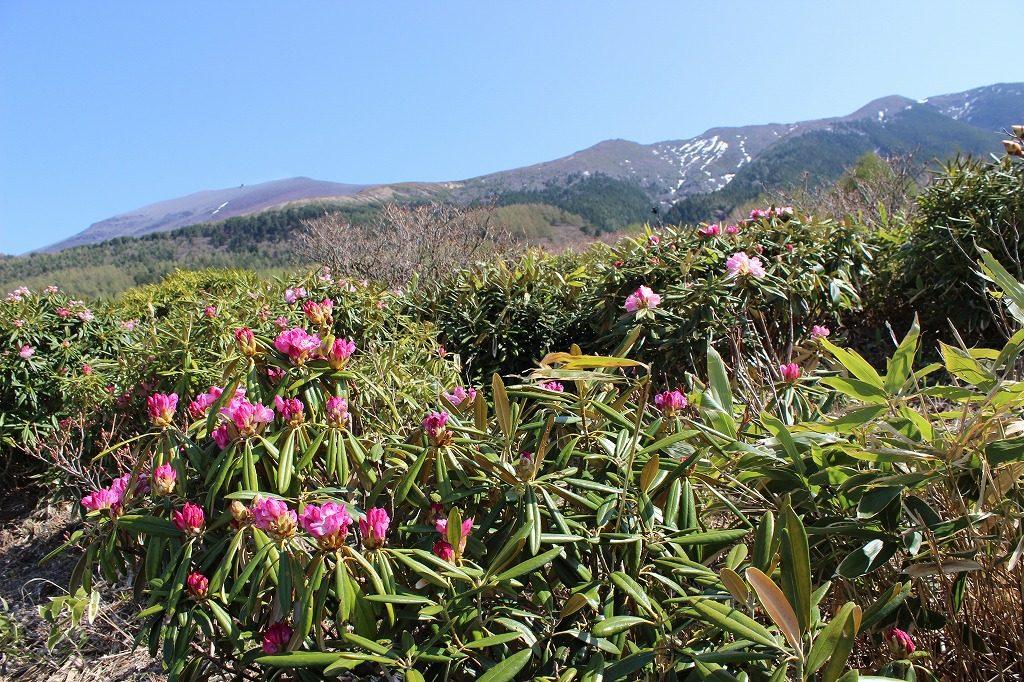 浅間山とシャクナゲ