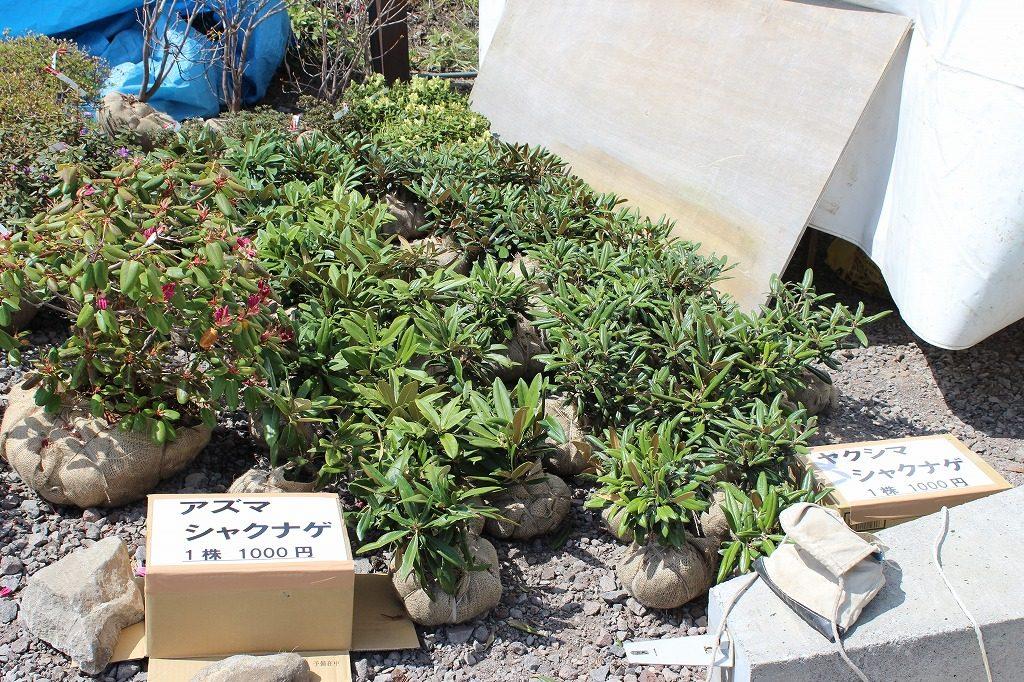 嬬恋村浅間高原シャクナゲ園で販売されているシャクナゲ