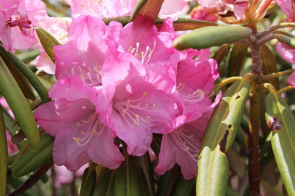 嬬恋村浅間高原の石楠花