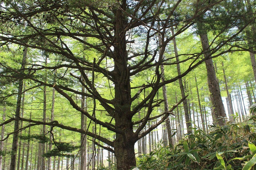 嬬恋村浅間高原シャクナゲ園の五葉松