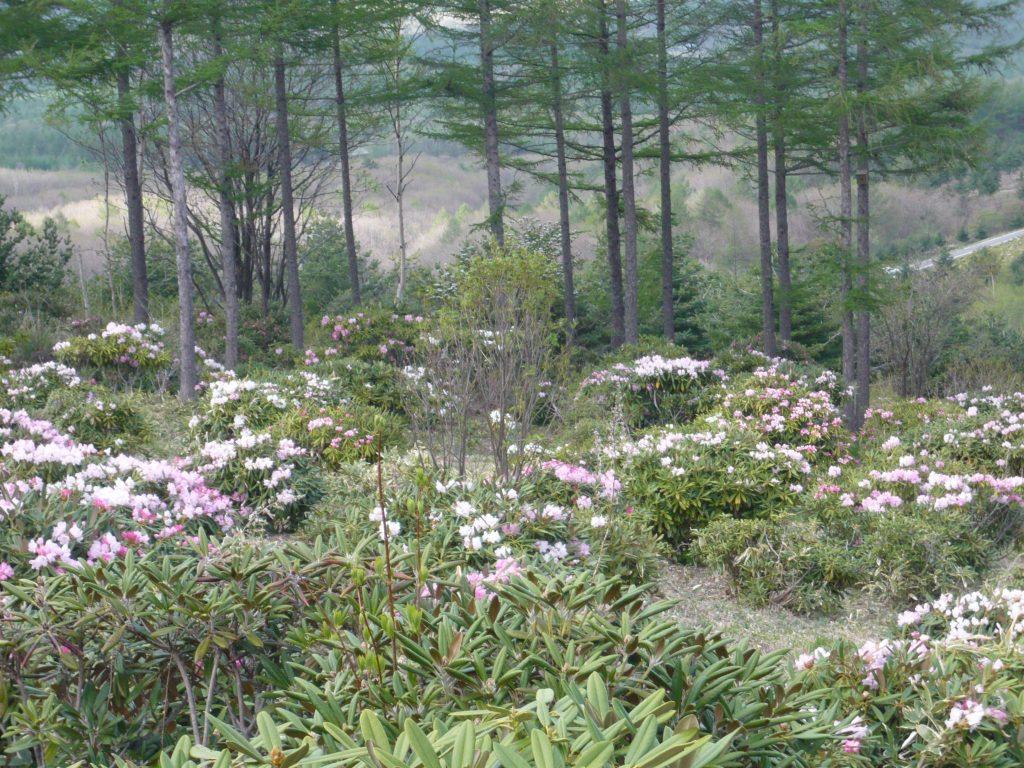 浅間高原シャクナゲ園の木々