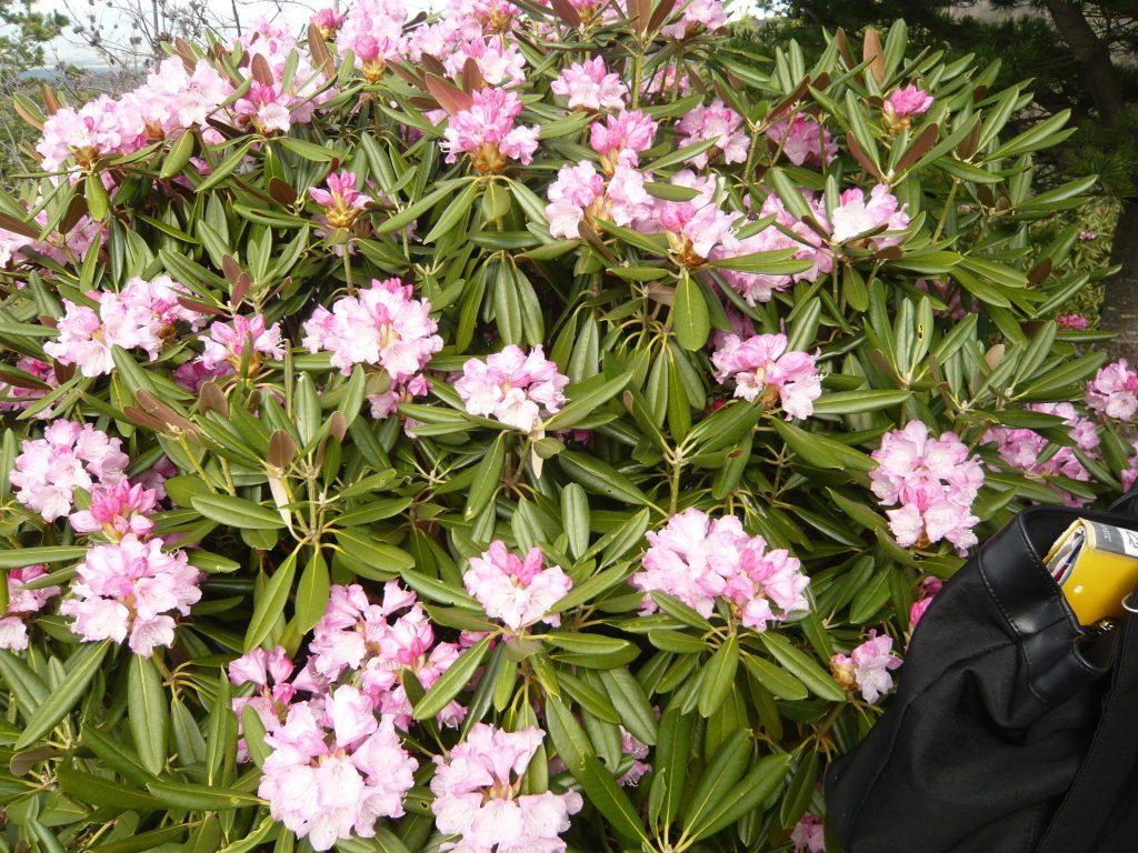浅間高原シャクナゲ園の石楠花