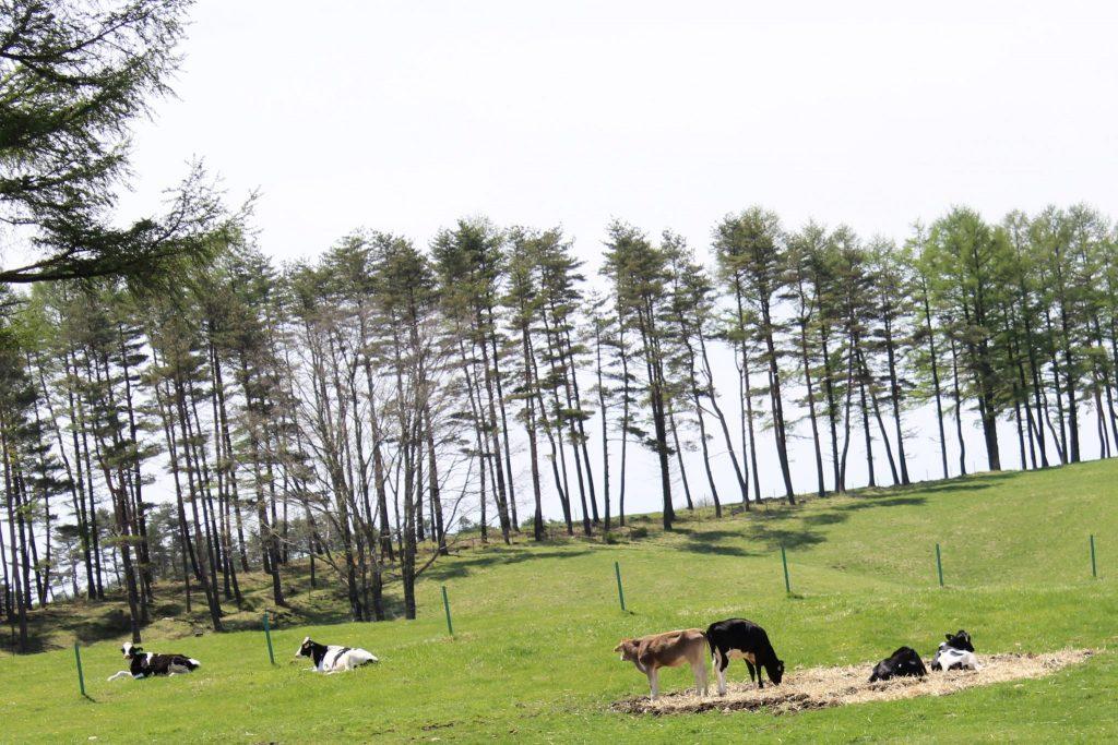 間近に牛を眺めることができる浅間牧場