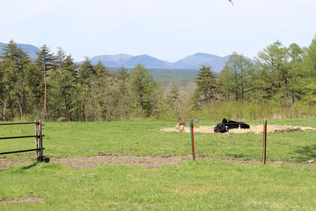 浅間牧場の放牧風景